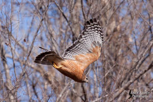 Red Shouldered Hawk by EdgedFeather