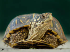 Ornate Box Turtle by EdgedFeather