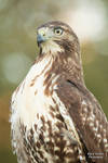 Red Tailed Hawk 7 by EdgedFeather