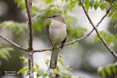 Mockingbird by EdgedFeather