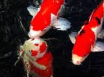 koi fish kiss by kitsune89