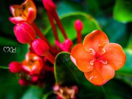 The Orange Flower by rjwarrier