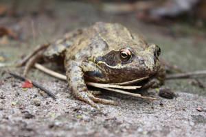 Mr Frog by hannahribbit
