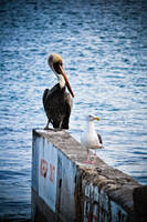 Pelican and sea gull by Mana-C-E