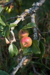 DSC06364 Crab Apple 2 by wintersmagicstock