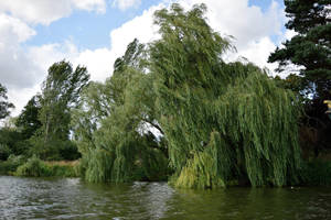 DSC 0152 Willows by wintersmagicstock
