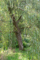 DSC 0822 Weeping Willow by wintersmagicstock