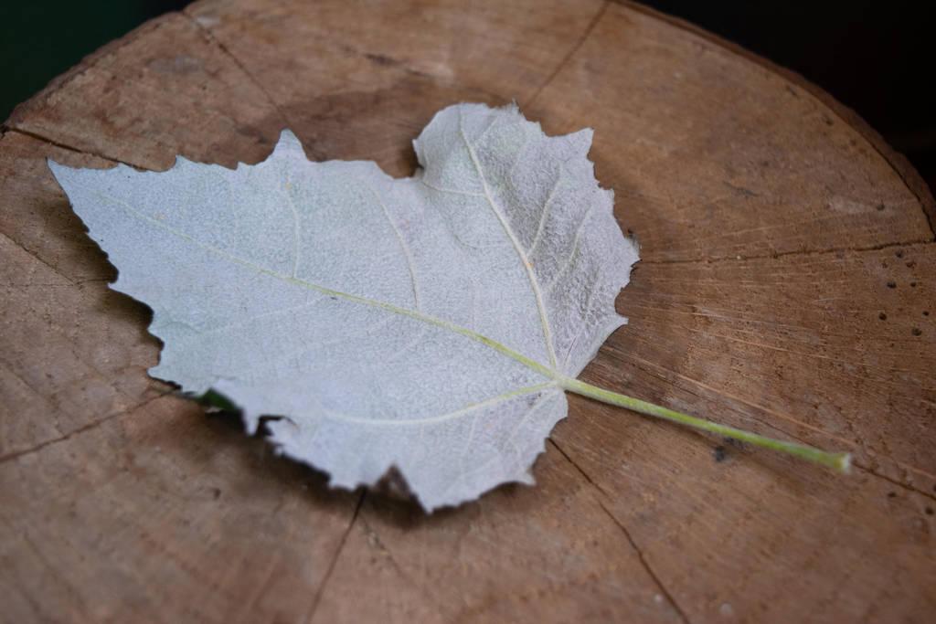 DSC 0936 Silver Leaf by wintersmagicstock