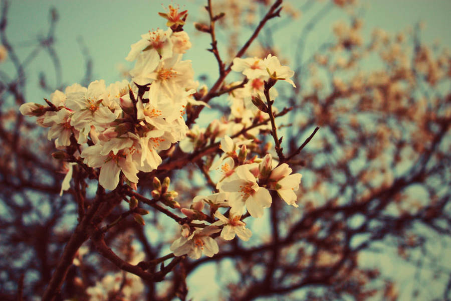 Almond Blossoms by Evychan