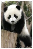Panda - 6756 by eight-eight