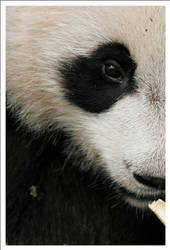 Panda - 6711 by eight-eight