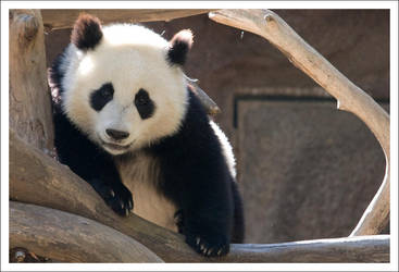 Panda - 1285 by eight-eight