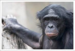 Bonobo - 9911 by eight-eight