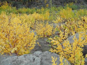 Golden Leaves by kadajs-kitsune