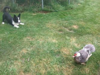 ducks eat dogs by stone-pegasus