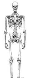Human Skeleton by carbonism