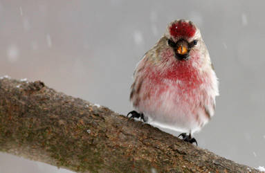 Redpolls in the snow II by Tucky13