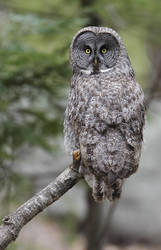 Great Gray Owl by Tucky13