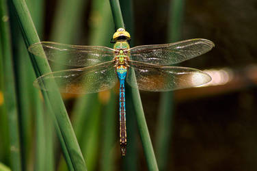 Dragonfly by rslewisphotos