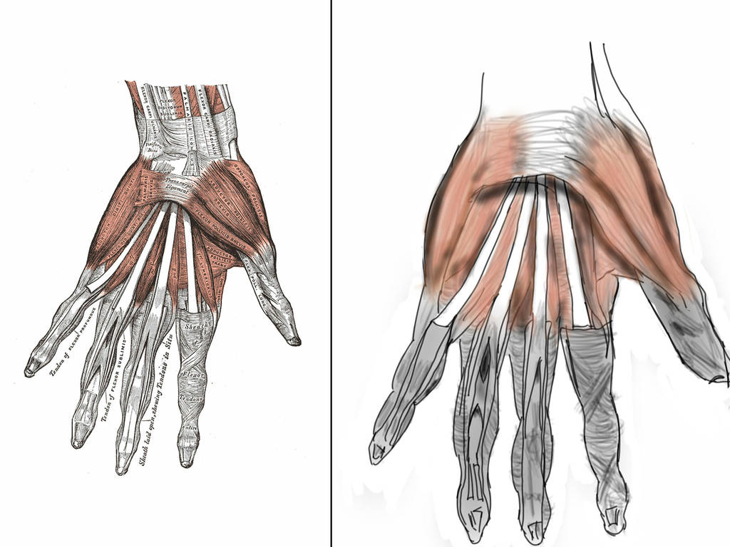 Anatomy The Hand Muscles By Waffles2992 On Deviantart