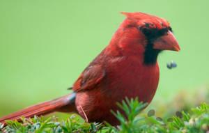 Cardinalis cardinalis by Pandinus