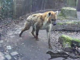 Spotted Hyena by Avanii-Photography