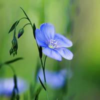Flax by Al-Baum