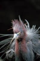 Great Blue Heron by dfm63