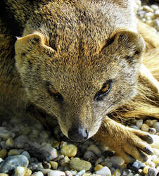 Mongoose by Biljana1313