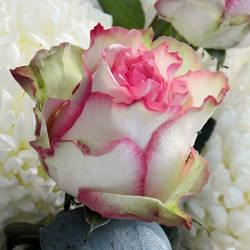 Rose by Biljana1313
