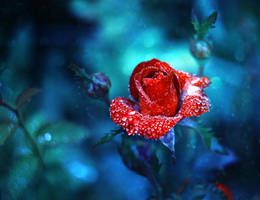 morning rose... by BaxiaArt