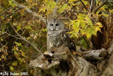 Barn Owl by jy42