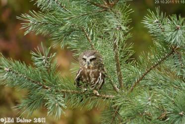 Saw Whet Owl by jy42