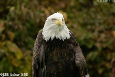Bald Eagle by jy42