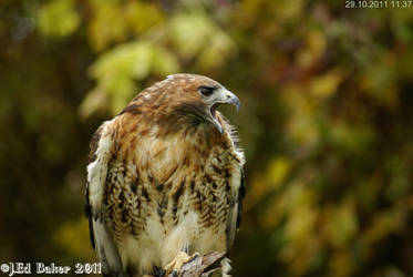 Red Tailed Hawk by jy42