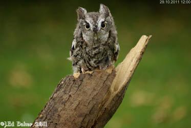 Screech Owl by jy42