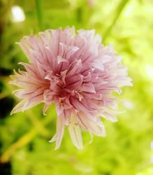 Pink by arwenv