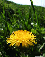 IMG 13 - dandelion by TwiCeArts