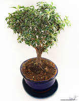 IMG 28 - my bonsai by TwiCeArts