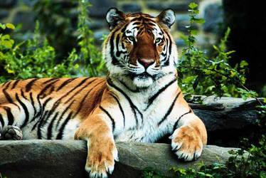 Tiger by Donnasand