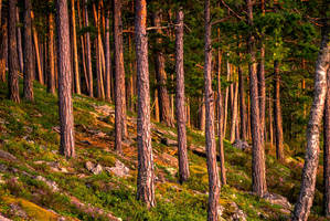 Golden Forest by JoInnovate
