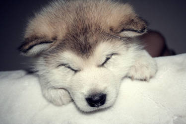 lovelovelove(alaskan malamute) by xAndax