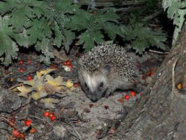 young hedgehog by Tragopogon