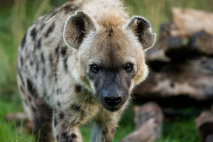 Hyena i by weaverglenn