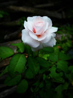 Rose by KimDanica