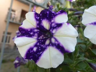 half stary flower by cacharoth