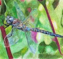 Blue Dragonfly by cjc7664