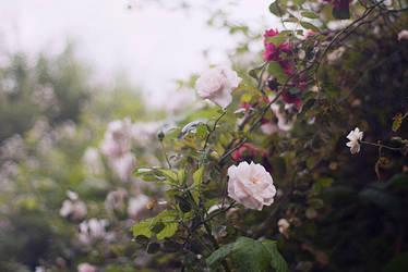 sweet roses by aimeelikestotakepics