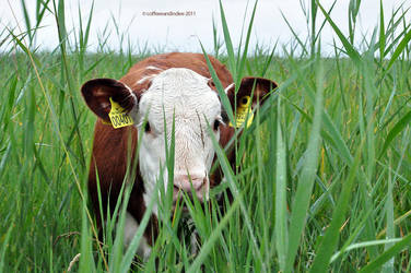 baby cow by coffeeeandindiee