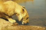 Africa Series - Riverside lion by sdsphotos